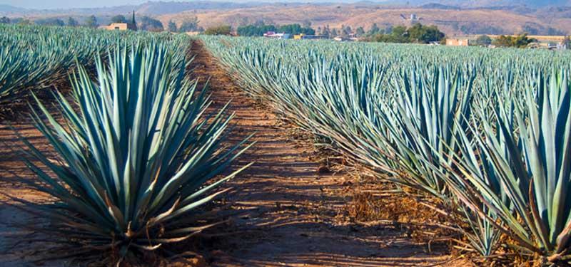 El Agave: Planta con muchas propiedades